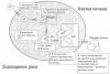 Книга «Китайское исследование» - Зарождение опухоли на клетке печени по-под воздействием афлатоксина